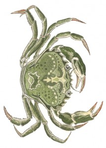 DM 70 - Green Crab