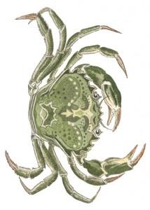 DM 70 - Green Crab