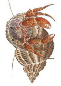 DM 71 - Hermit Crab