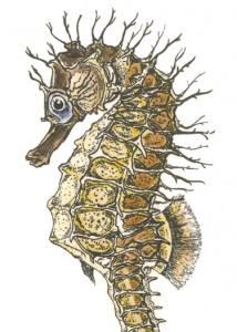 DM 72 - Spiny Sea Horse