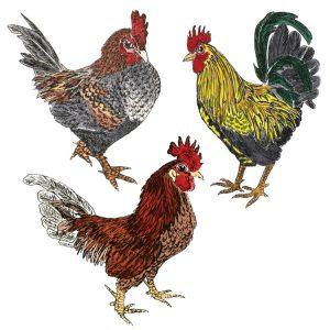 DM 26 - Bantam Chickens