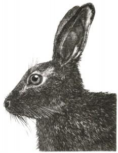 DM 27 - Hare